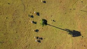 Aerial view of Australian cattle herd. On the country farm, Queensland stock video