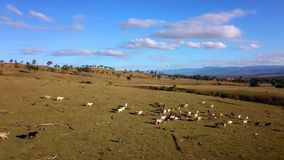 Aerial view of Australian cattle herd. On the country farm, Queensland stock video footage