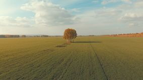 Aerial view of an autumn farm chores. Lonely tree in the middle stock video
