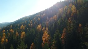 Aerial view of autumn pine forest with yellow and green trees in the mountains.  stock video footage