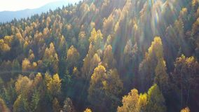 Aerial view of autumn pine forest with yellow and green trees in the mountains.  stock video