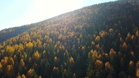 Aerial view of autumn pine forest with yellow and green trees in the mountains.  stock footage
