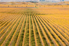 Aerial view of autumn vineyard. In New Zealand stock images