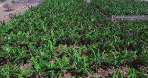 Aerial view of banana trees plantation. Texture stock video