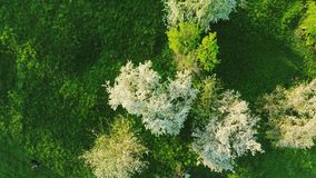 Aerial view of beautiful blossoming apple-tree garden. Aerial footage. stock video