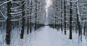 Aerial video beautiful forest landscape in winter, alley of snowing trees. Camera moving backward. Aerial view of beautiful forest landscape in winter, alley of stock video