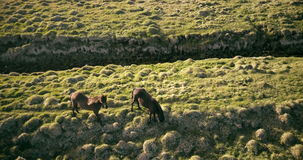 Aerial view of the beautiful horses grazing on the green meadow. Copter flying over the lava field in Iceland. stock video footage