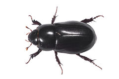 Black Beetle Aerial with clipping path Stock Photography