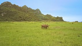 Aerial View Boundless Green Farmland and Grazing Buffaloes. Wonderful aerial view boundless green grass farmland and grazing buffaloes against clear blue sky and stock footage