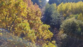Aerial view on branches in the autumn yellow foliage with road stock video