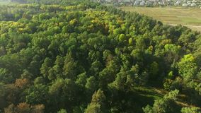 Aerial view camera moves rising up from green forest of dense mixed tree tops. Autum sunny day stock footage