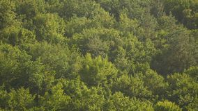 Aerial view camera moves rising up from green forest of dense mixed tree tops of pine trees and birches.  stock video