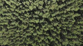 Aerial view, camera moves rising up from pine trees forest stock footage