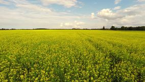 Aerial view of a canola field on a sunny day. Aerial footage. Low altitude flight over Field with flowering Canola flowers. Aerial footage. Amazing summer stock footage