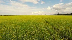 Aerial view of a canola field on a sunny day. Aerial footage. stock video
