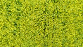 Aerial view of a canola field on a sunny day. Aerial footage. stock video footage