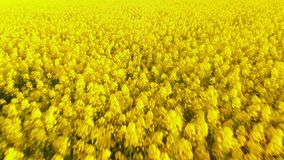 Aerial view of canola rapeseed field blossoming. Drone flying low forward. Aerial above view of canola rapeseed field blossoming. Drone shot. Yellow background stock footage