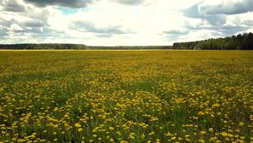 Aerial view carpet of dandelion flowers under pictorial sky. Inspiring aerial view huge carpet of blooming dandelion flowers and green forest under pictorial sky stock video footage