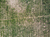 Aerial view of cassava plantation Stock Image