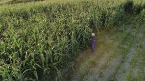 Woman agronomist in overalls with an electronic tablet in his hands. An agricultural worker inspects the plot of corn stock video footage