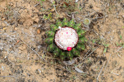 Aerial view Closeup of cactus with berry and flowers in desert Royalty Free Stock Image