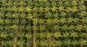 Aerial view of coconut farm. coconut trees neatly aligned with intercrop banana . royalty free stock images