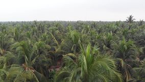 Aerial view of coconut palm trees from drone in rural Indian coconut plantation groove, Kerala.
