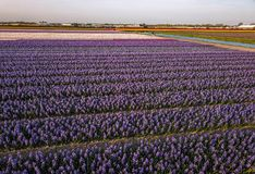 Aerial view of the colorful tflowers fields at spring in Lisse. Aerial view of the colorful Flowers fields at springtime in Lisse Netherlands stock photo