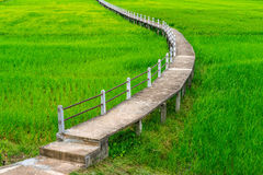 Aerial view of concrete pathway in green rice field Royalty Free Stock Image