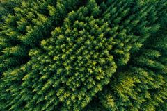 Aerial view of green coniferous forest plantations stock photos
