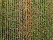 Aerial view of corn crops field. From drone pov, top view stock photography