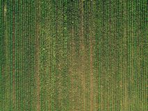 Aerial view of corn crops field with weed. From drone pov, top view stock image