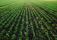 Aerial view of corn crops field with weed. From drone point of view royalty free stock image