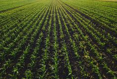 Aerial view of corn crops field with weed. From drone point of view royalty free stock photos