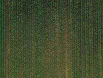 Aerial view of corn crops field with weed. From drone pov, top view stock photo