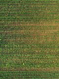 Aerial view of corn crops field with weed. From drone pov, top view stock photos