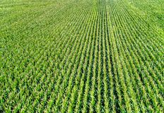 Aerial view of corn field, background. stock photo