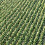 Aerial View Corn Field. Farm land rows square growing harvest plant planted pattern green outside lines Stock Photo