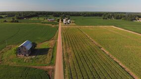 Aerial view of corn fields and a dirt road. Summer country landscape.
