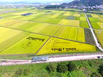 Aerial View of Cosmos Road and Rice Paddy Painting in Mujeom village, Changwon, Gyeongnam, South Korea, Asia.  royalty free stock photography