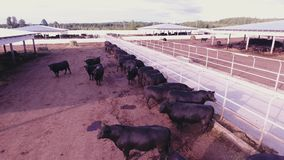 Aerial view of cows and bulls roam in large fenced corrals in animal farmland. Aerial view demonstration of massive black cattle roaming in large brown fenced stock footage
