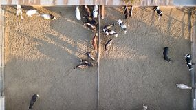 Aerial view of cows and calves in the farm. They feed in the barn
