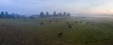 Aerial view of the cows in fog on the green field at sunset. Stock Photo