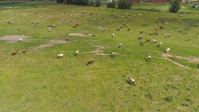 Cows graze on pasture