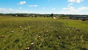 Cows grazing on pasture. Aerial view cows graze on a green pasture on a summer day. Herd cows on a summer pasture. Aerial footage, 4K video stock footage