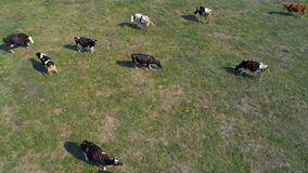 Aerial view of cows on green pasture in Ukraine stock photos