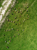 Aerial view of cows herd grazing on pasture Royalty Free Stock Photography