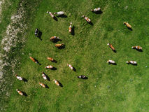 Aerial view of cows herd grazing on pasture Royalty Free Stock Image