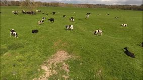 Aerial view. Cows and oxens. Ireland stock video footage