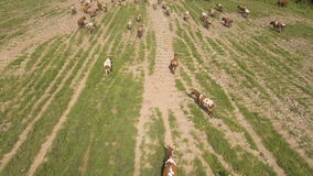 Aerial view:Cows walking along the road stock footage